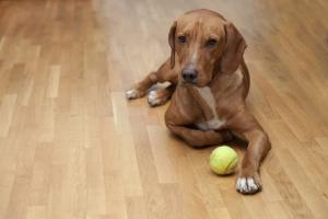 dog-hardwood-floor-e1425927123176
